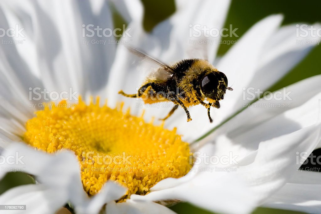 Bumblebee In Flight Collecting Pollen royalty-free stock photo