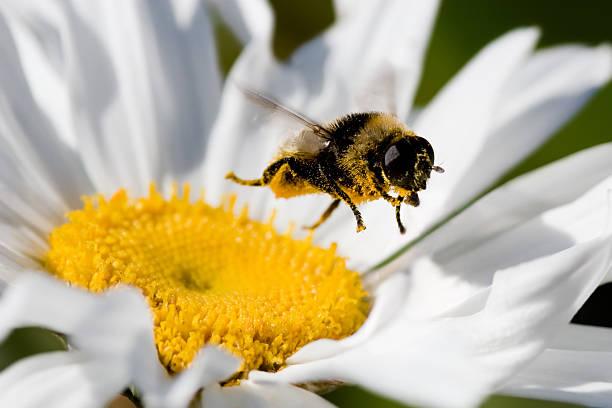 Bumblebee In Flight Collecting Pollen stock photo