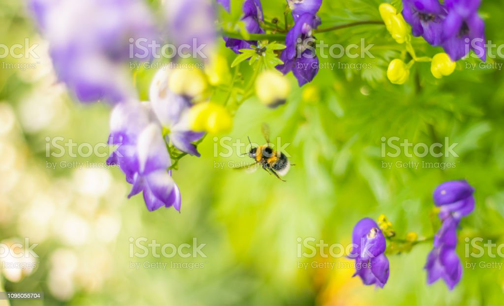 Bumblebee in Flight on Pretty Green Background stock photo