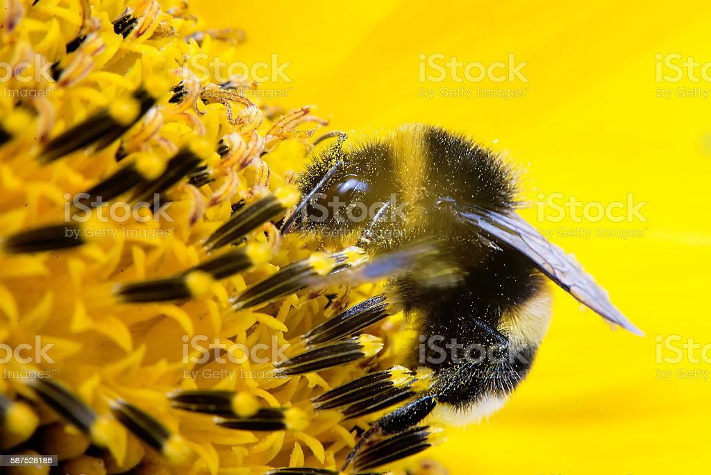 Bumblebee in flower on yellow background. sunflower stock photo