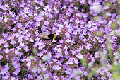 Bumblebee in groundcover blooming purple flowers thyme serpyllum on a bed in the garden, close up, soft selective focus.