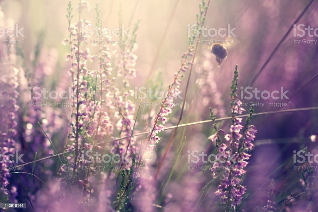 Bumblebee in heather royalty-free stock photo