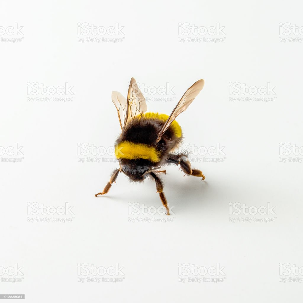 Bumblebee Isolated On The White Background Stock Photo & More ...