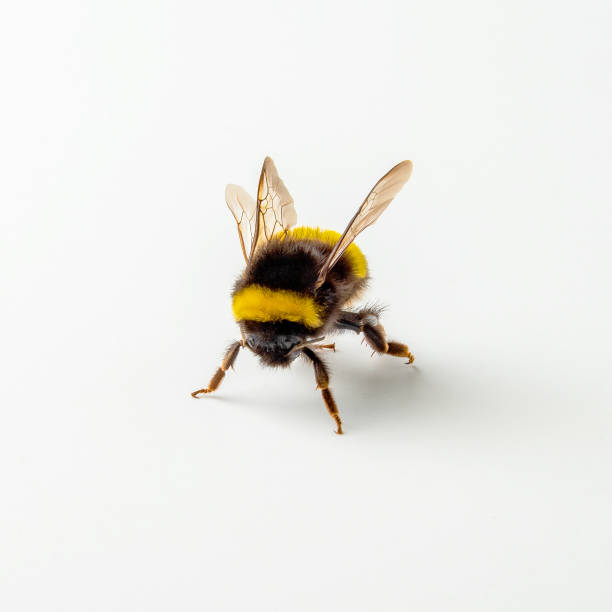 bumblebee isolated on the white background - bumblebee stock pictures, royalty-free photos & images