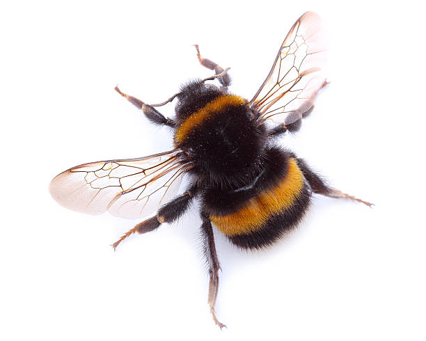 bumblebee isolated on white - bumblebee stock pictures, royalty-free photos & images