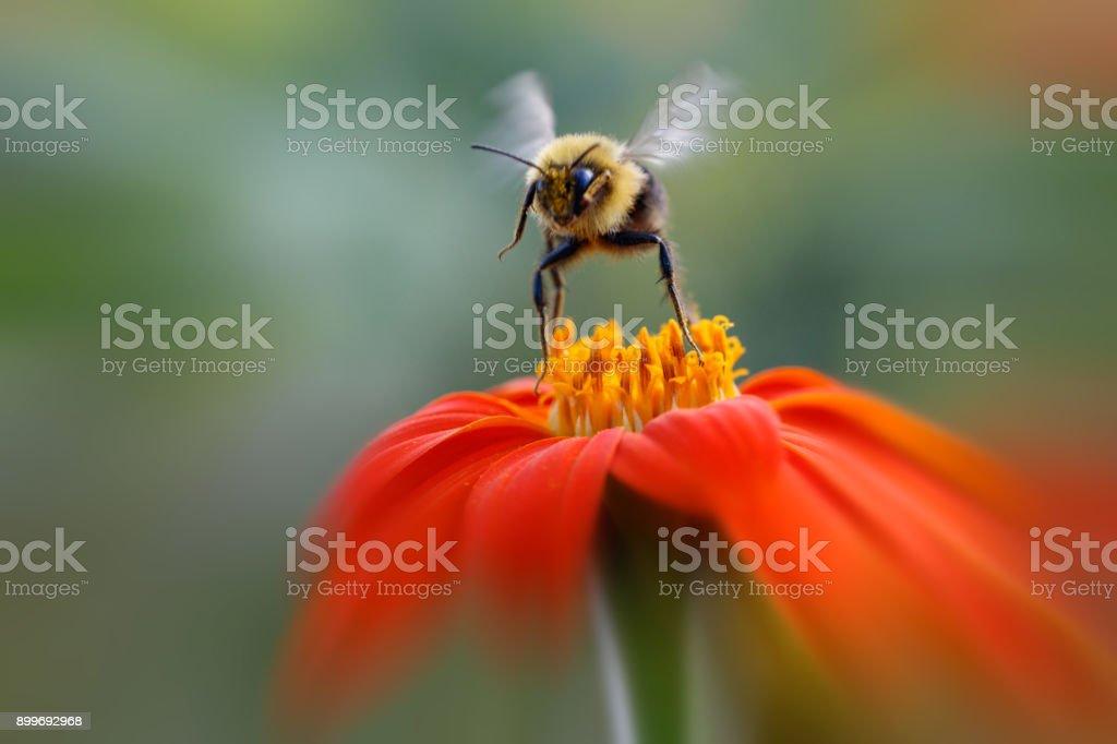 Bumblebee leaving orange flower stock photo