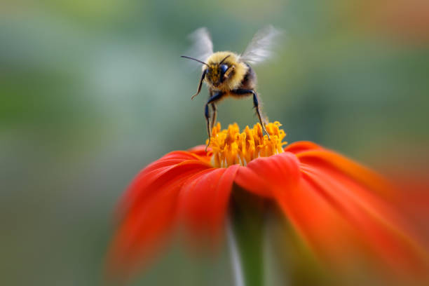 bumblebee leaving orange flower - bumblebee stock pictures, royalty-free photos & images