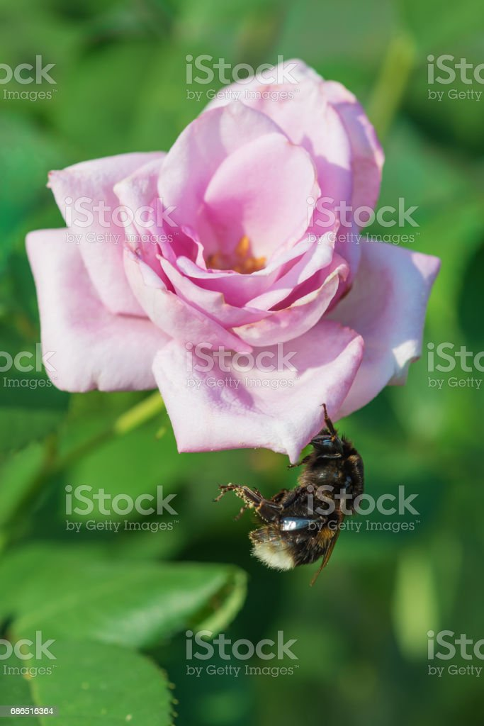 Bumblebee on a beautiful pink rose foto stock royalty-free