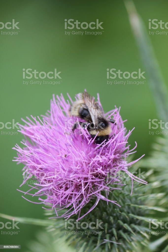 Bumblebee on a burdock. stock photo