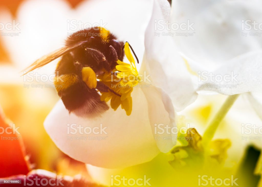 Bumblebee on a flower closeup stock photo