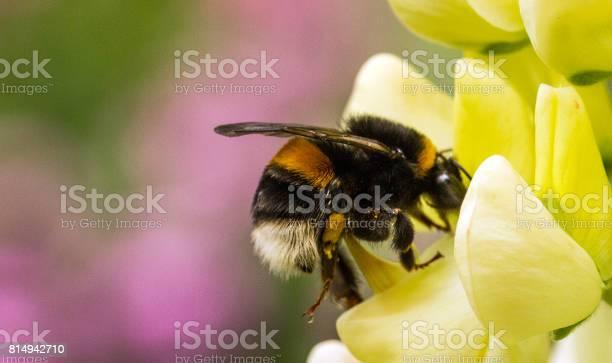 Bumblebee on a lupin flower picture id814942710?b=1&k=6&m=814942710&s=612x612&h=4kfof8fv958 jw76x6xvuwoxws6qvsllxjumarblnug=