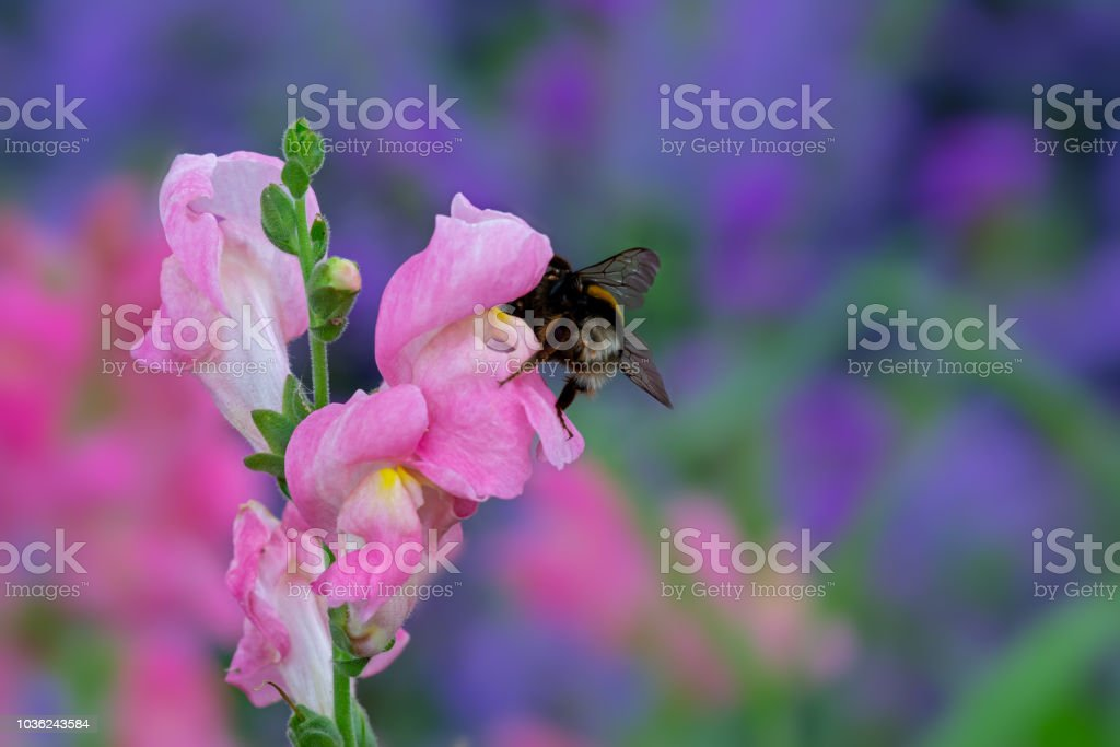 Bumblebee On A Pink Dragon Flower Stock Photo More Pictures Of