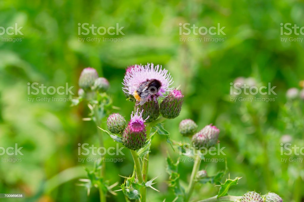 bumblebee on a thistle flower stock photo