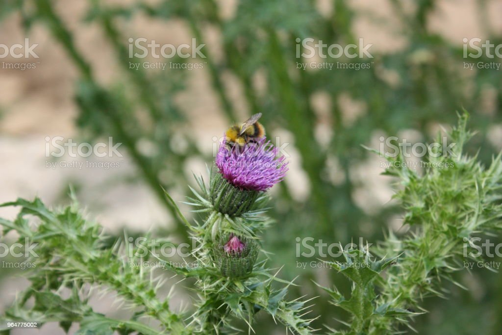 Bumblebee on a wild plant flower royalty-free stock photo