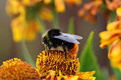 Bumblebee on a yellow flower closeup. Beautiful natural summer background. Bee pollinating flower gaillardia. Big black bumblebee with yellow stripes and textured wings.