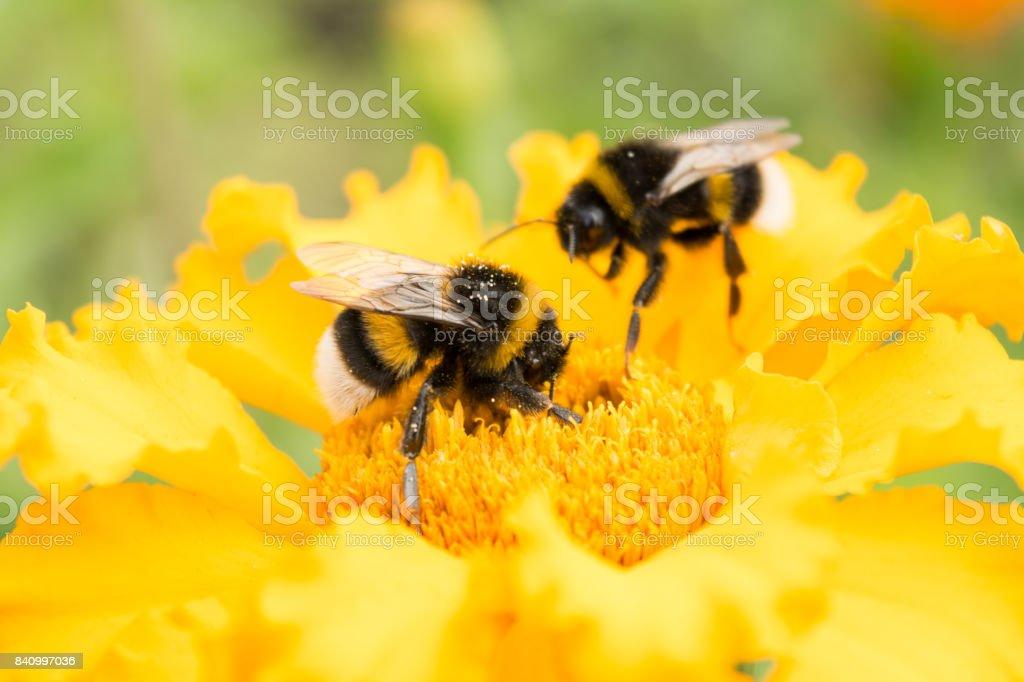 Fotografía de Abejorro En Una Flor Amarilla Recoge Polen Enfoque ...