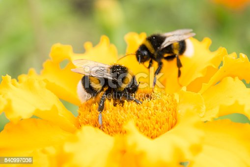 istock bumblebee on a yellow flower collects pollen, selective focus 840997036
