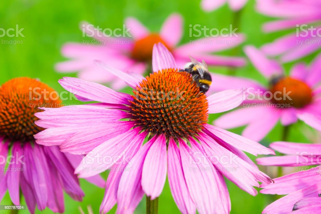 Bumblebee on beautiful flowering Echinacea flower close-up on a green background - macro, spring, summer stock photo