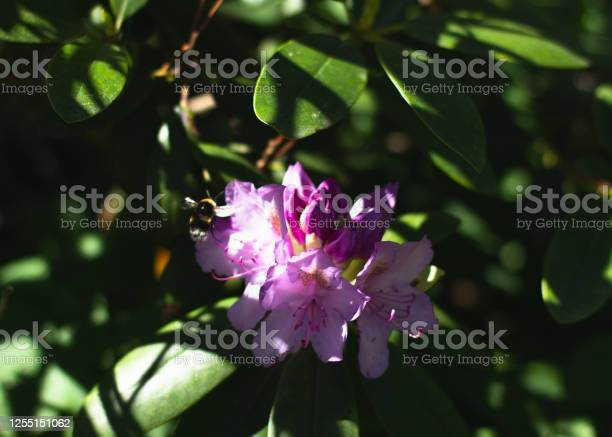 Photo of Bumblebee on bright pink lilac or purple raindrop covered rhododendron flower with green leaves macro close-up horizantal format