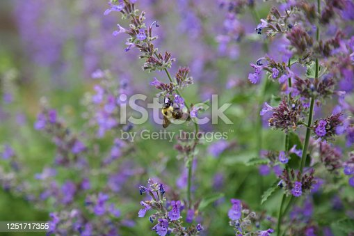 A bumblebee collects pollen from a catmint plant in a raised garden bed. Catmint is in the lavender family and smells wonderful. It's an excellent pollinator for those looking to attract birds and bees to their garden.