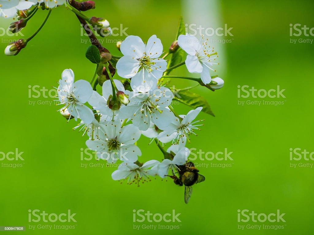 Шмель на вишни стоковое фото