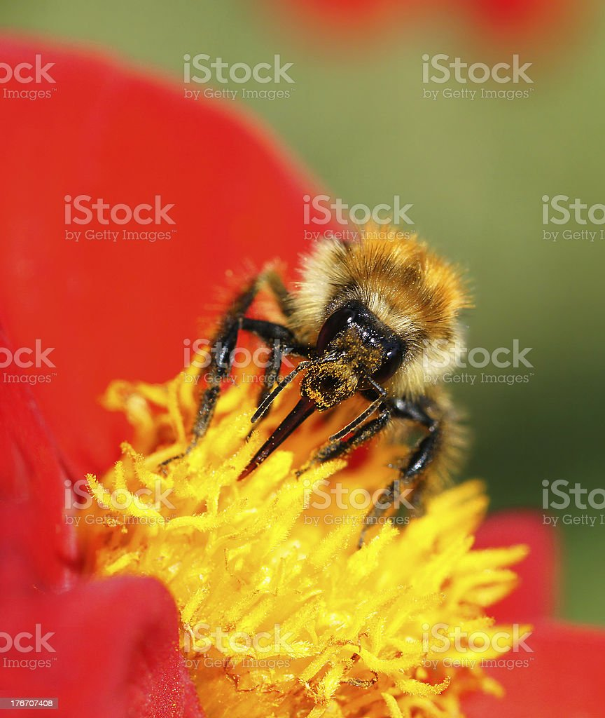 Bumble-bee on dahlia royalty-free stock photo