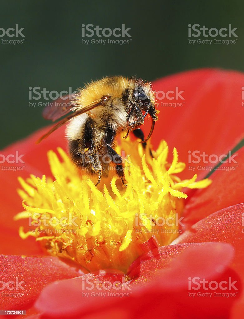 Bumble-bee on dahlia royalty-free stock photo