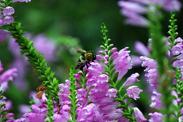 bumblebee on false dragonhead flower - pam schodt stock photos and pictures