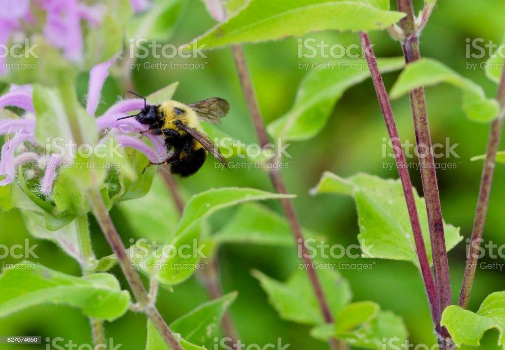 Bumblebee on flower stock photo