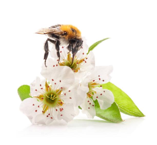 bumblebee on flowers of pear - calabrone ape foto e immagini stock