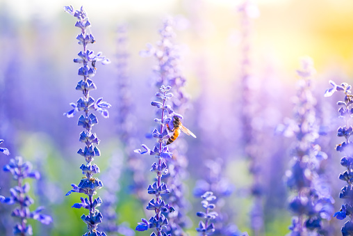 Bumblebee on lavender blooming flower in warming sunrise