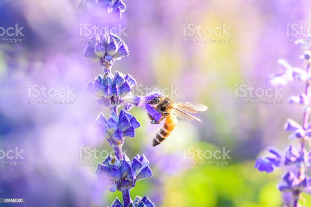 Bumblebee on lavender blooming flower in warming sunrise stock photo