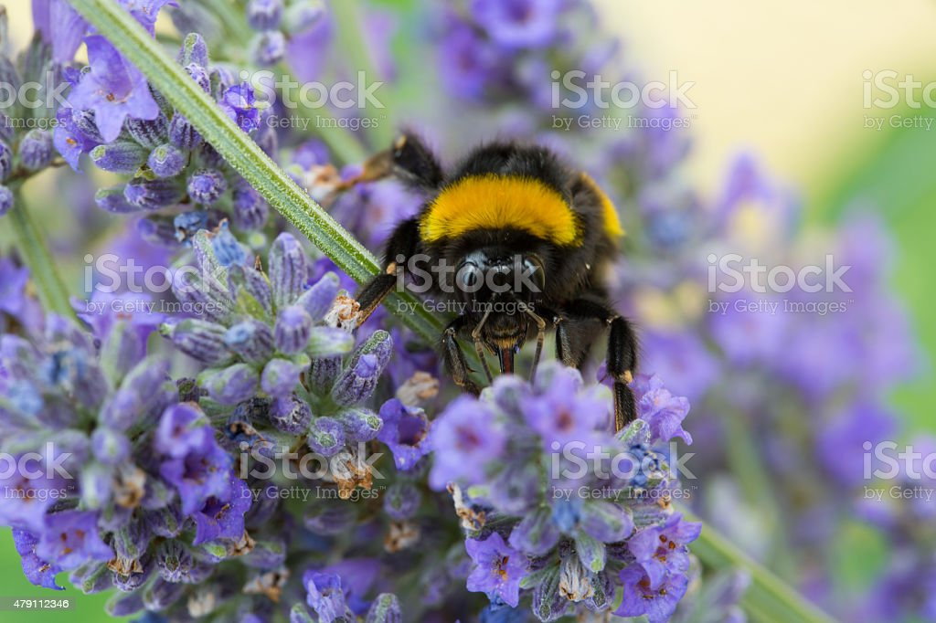 Bumblebee on lavender flower stock photo