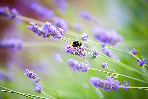 Bumblebee on Lavender flowers stock photo