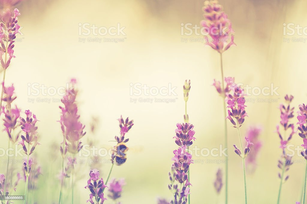Bumblebee on lavender royalty-free stock photo