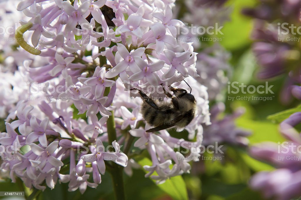 Bumblebee on lilac flowers royalty-free stock photo