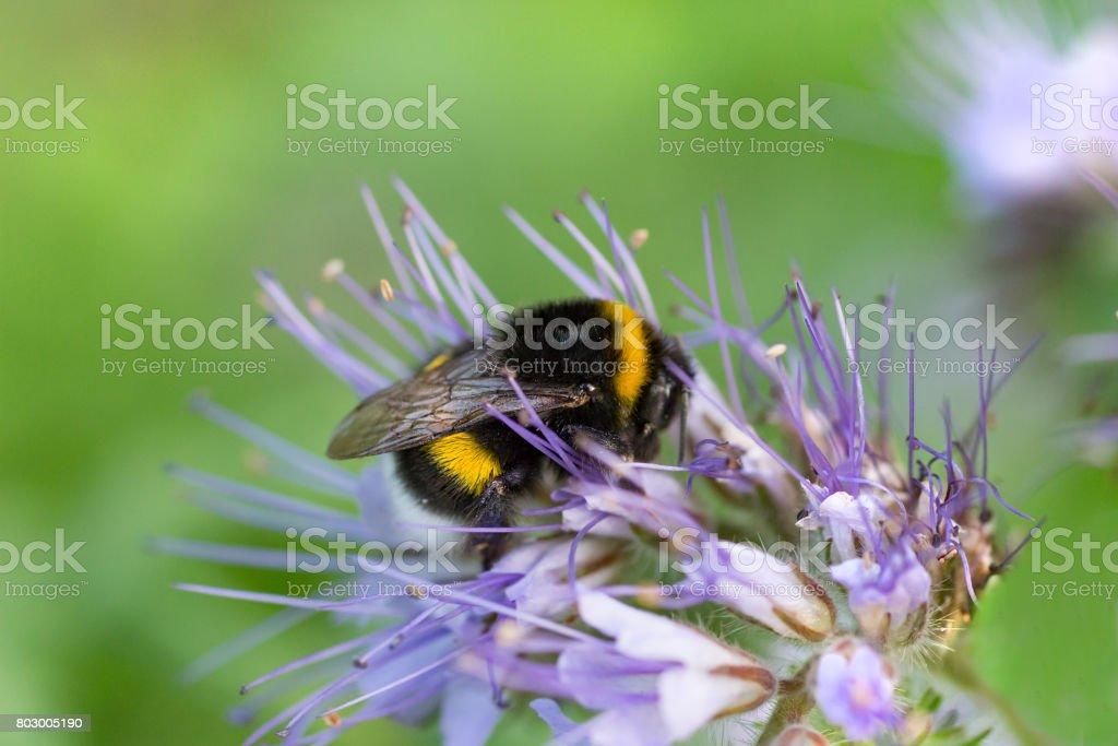 Bumblebee on phacelia stock photo