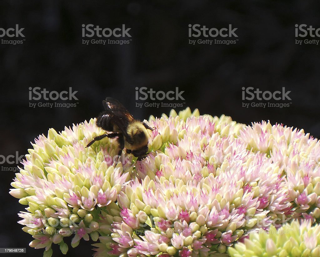 Bumblebee On Pink And White Flowers royalty-free stock photo