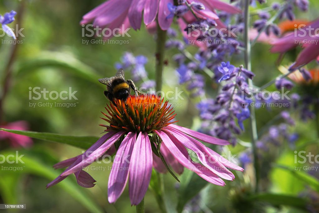 Bumblebee on pink coneflower in summerbed royalty-free stock photo
