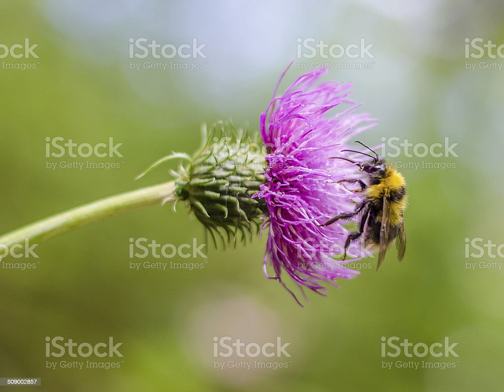 Bumblebee on pink flower detail stock photo