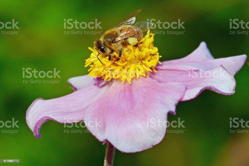 Bumblebee on Pink Flower stock photo