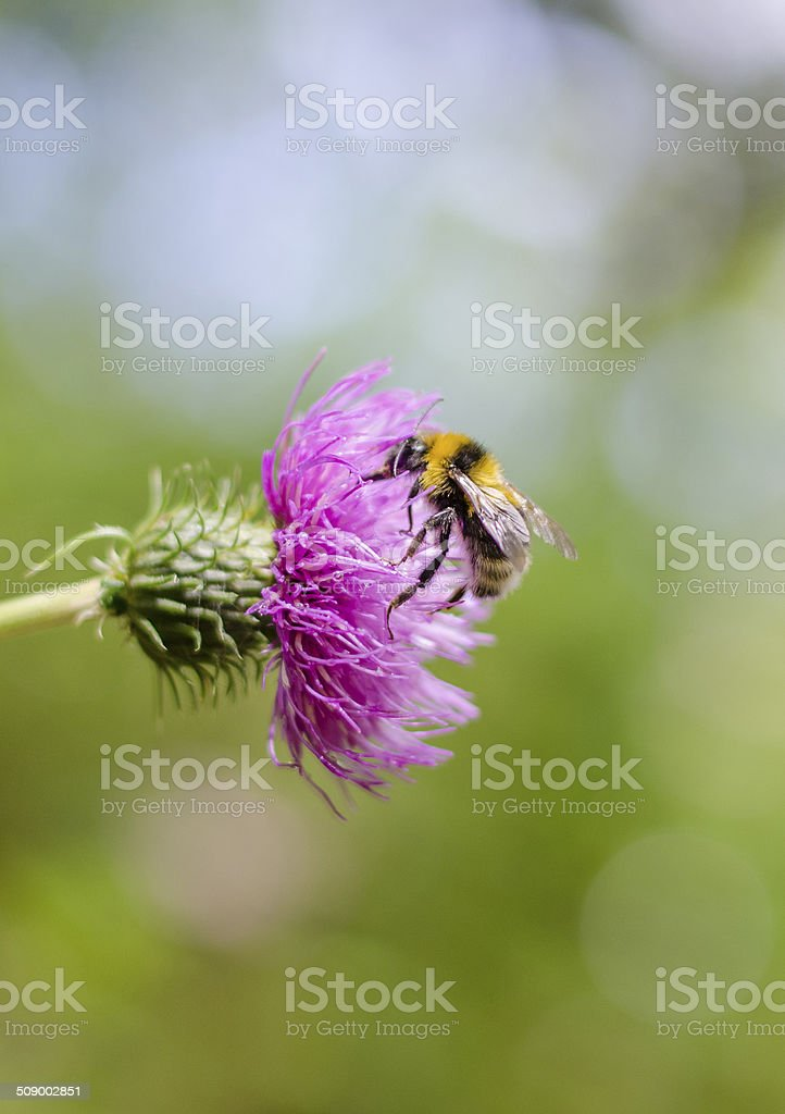 Bumblebee on pink flower pollination stock photo