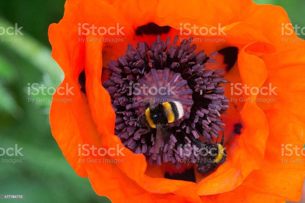 Bumblebee on poppy seed stock photo