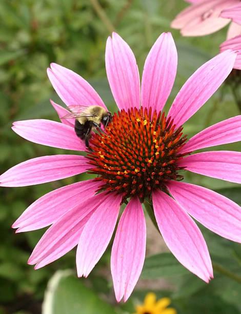 bumblebee on purple coneflower2 stock photo