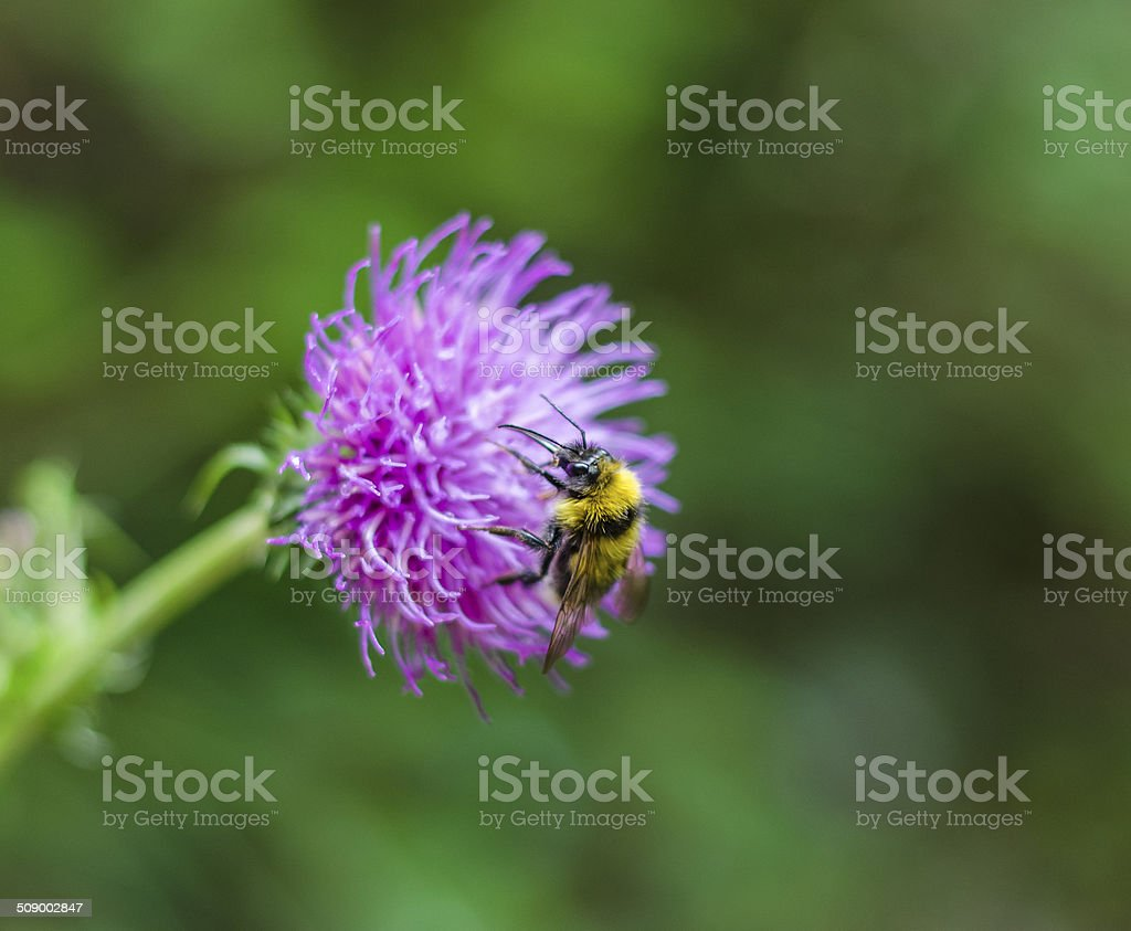 Bumblebee on purple flower close up stock photo