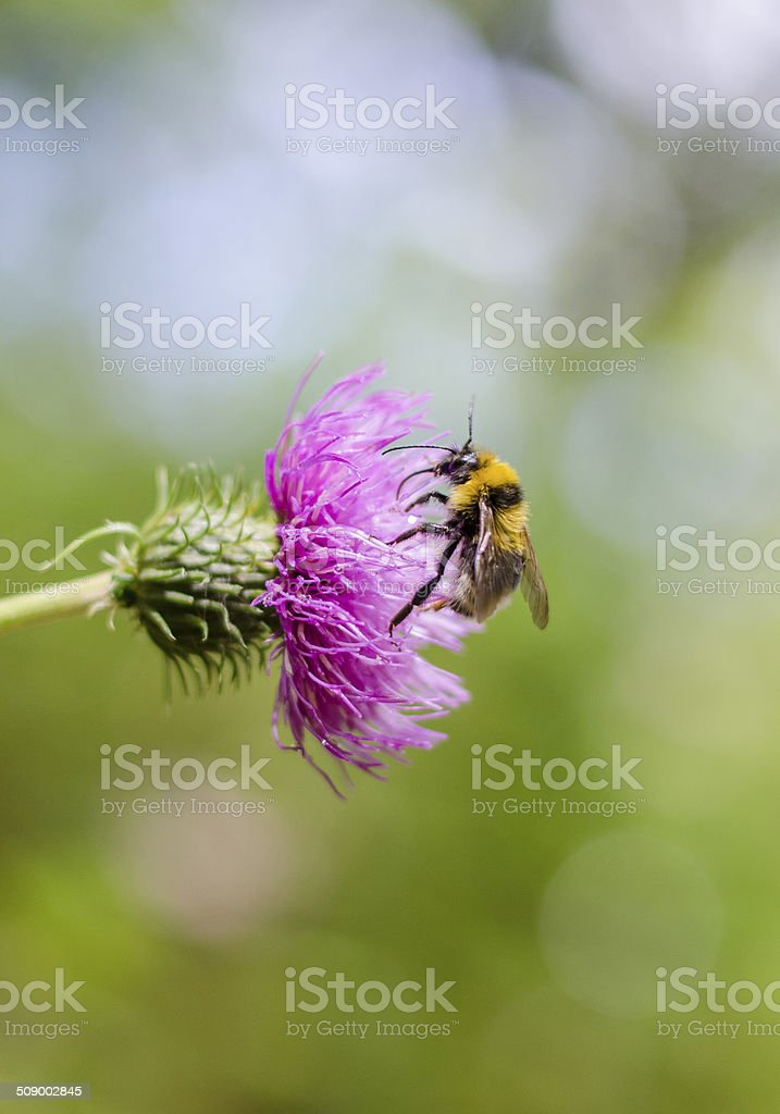 Bumblebee on purple flower stock photo