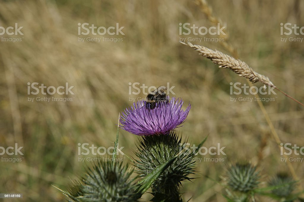 Bumblebee on purple thistle. royalty-free stock photo