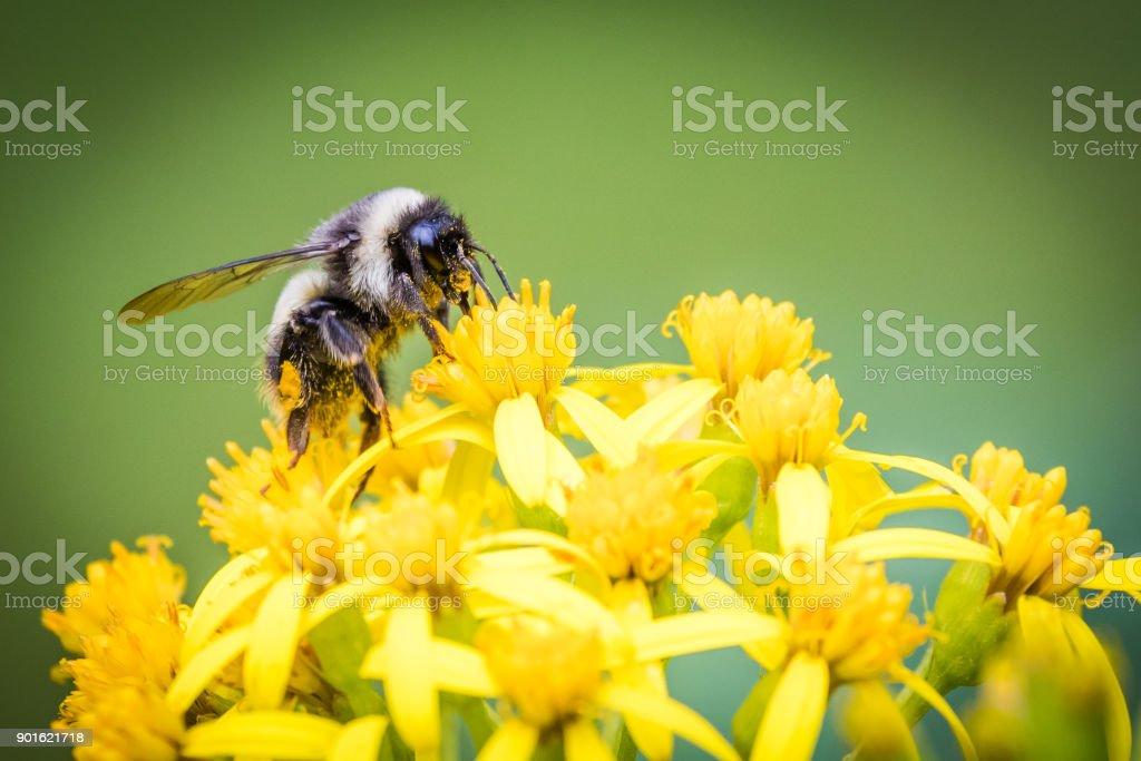 Bumblebee on Ragwort stock photo