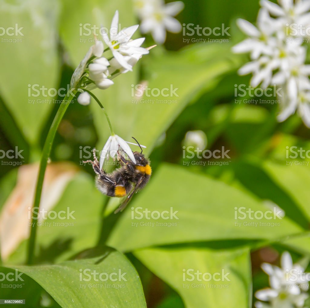 bumblebee on ramsons flower stock photo