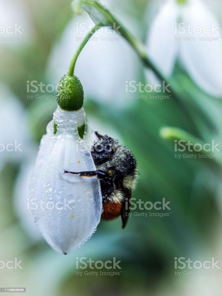 Bumblebee on Snow Drop Blossom stock photo